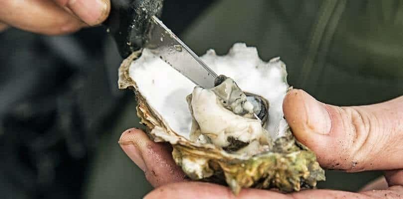 Austern in der Nordsee - Austern sammeln