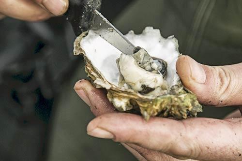 Austernsafari in der dänische Nordsee - Austern sammeln