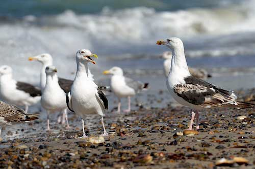 Möwen auf Romo Strand, Dänemark