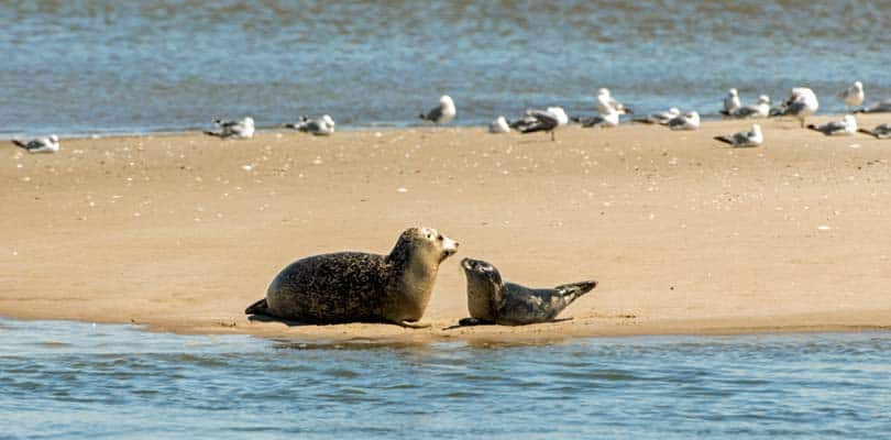 Seehunde - Robben - Robbensafari - Seehundesafari