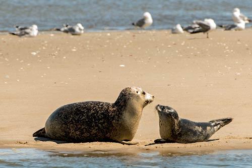Robben/Seehunde am Strand - Römö Wattwanderung